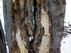 4-zhnity-kmen-stromu-buk-ktory-je-nebezpecny-vo-vetre-safeworks.sk