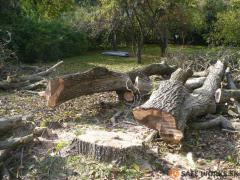 spileny-strom-orecha-s-prehnitym-kmenom-safeworks.sk