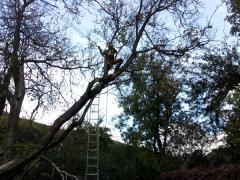 postupne-spilovanie-rizikoveho-stromu-orechu-s-motorovou-arboristickou-pilou-dolmar-safeworks.sk